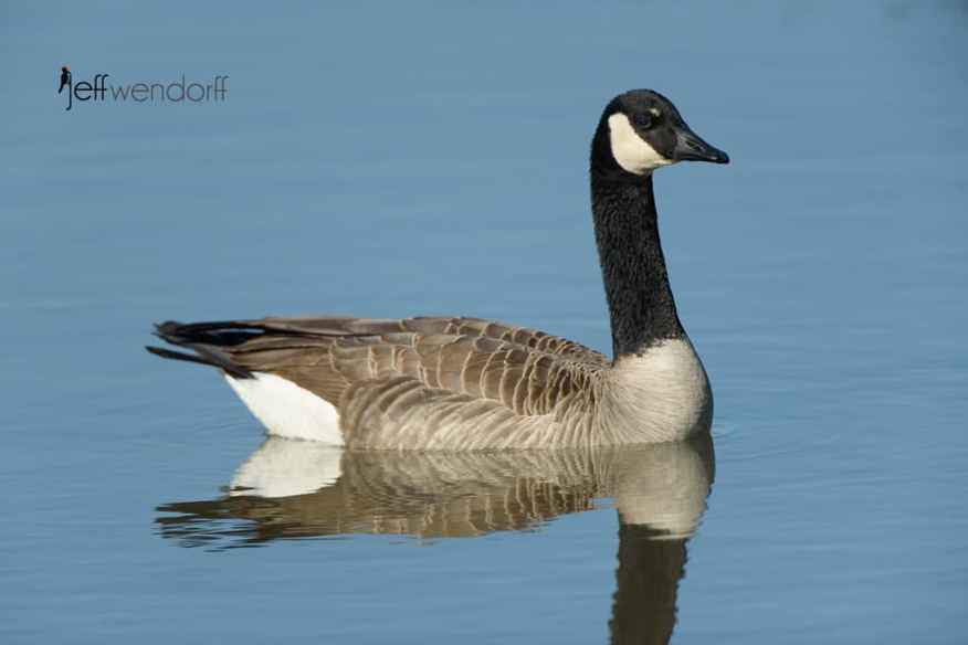 Peaceful image of a Canada Goose at Fernhill Wetlands photographed by Jeff Wendorff