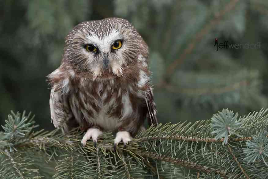 Fierce pose Northern Saw-whet Owl photographed by Jeff Wendorff