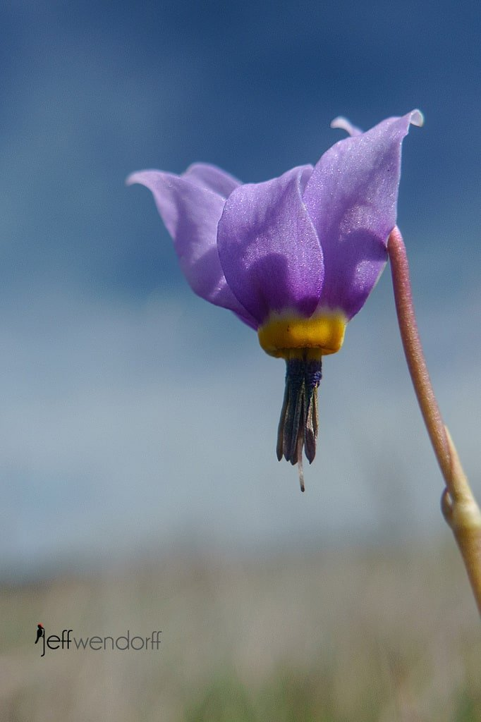 Desert Shooting Star, Dodecatheon conjugens at the Rowena Plateau photographed by Jeff Wendorff