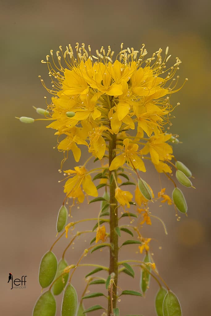 Golden Bee Plant, Cleome platycarpa photographed by Jeff Wendorff