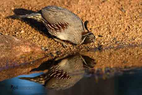Water drops falling from Gambel's Quail by Jeff Wendorff