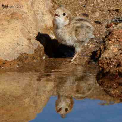 Gambel's Quail chick drinking from the pond with reflection by Jeff Wendorff