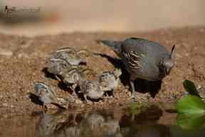 Gambel's Quail, family down at the pond. by Jeff Wendorff