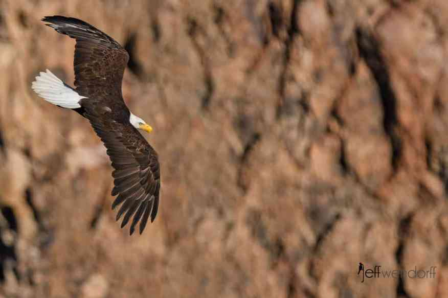 Bald Eagle at Smith Rock soaring along the cliff wall photo by Jeff Wendorff