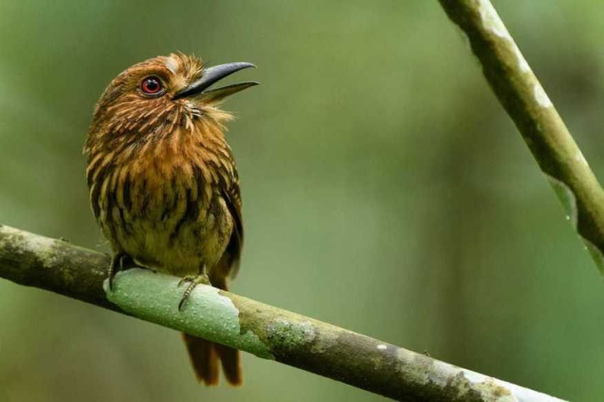 White-whiskered Puffbird (Male) singing in Panama during Wildlife Workshops - Neotropical Birds Photography Workshop