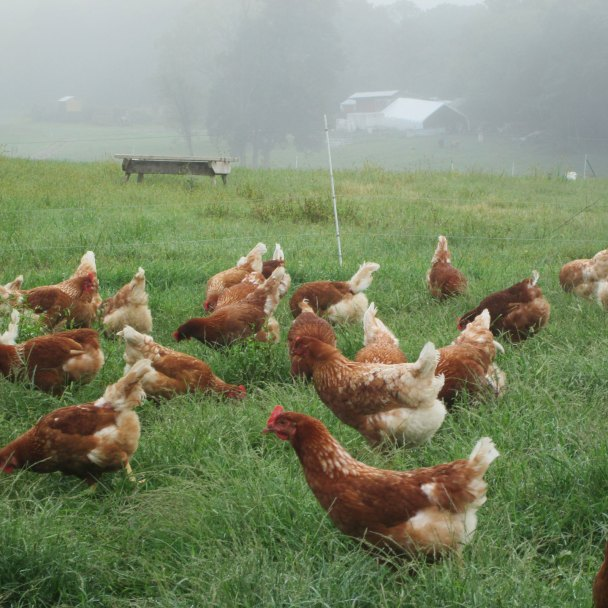 Hens ranging in the morning fog