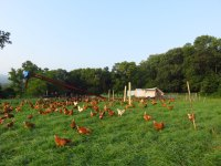 Hens ranging on pasture