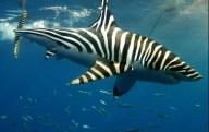 Sharkbra-112525526