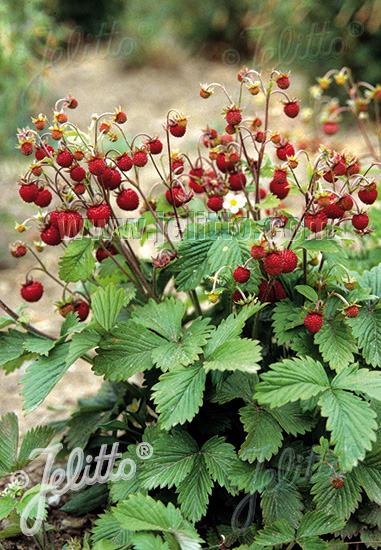 Strawberry Plant Height