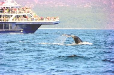 Baleines sur le Saint Laurent, Québec