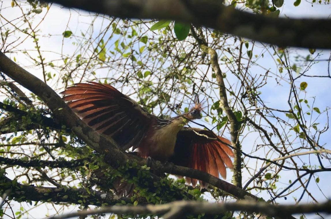 Hoazin aux marais de Kaw, Guyane