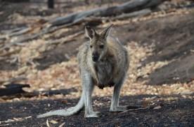 Kangorou encounter dans les Grampians Australie