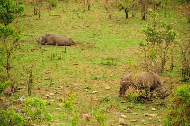 Rhinos au Kruger Park Afrique du Sud