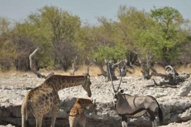 Vie de la savane Etosha Namibie