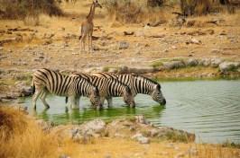 Zèbres s'abreuvant à Etosha Namibie