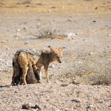 Coyotte avec ses bébés Etosha Namibie