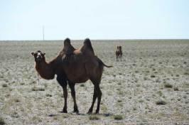 Chameau laineux du Gobi