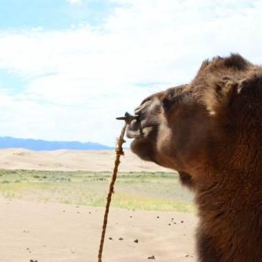 Un regard de chameau sur les dunes