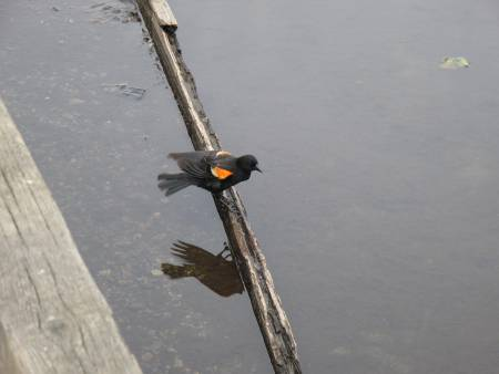 Red Wing Blackbird. Which Kale tells me is his favourite bird now.