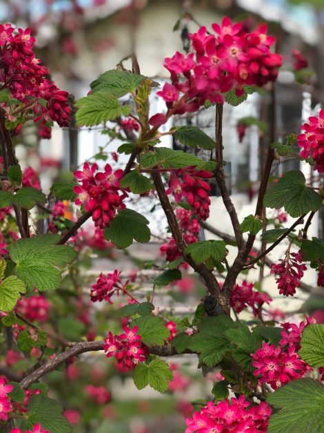 an image of a house in the background and red currant blossoms in the foreground