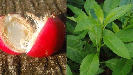 Tiga Jenis Herbal Untuk Melawan Keganasan Kista