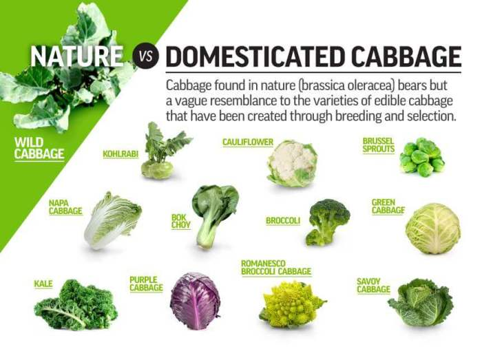 4-30 Domesticated Cabbage