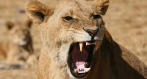 Hwange Lion Research Project 8