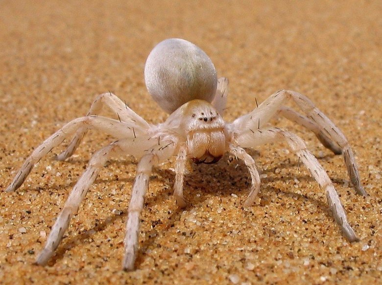 5 Amazing Little Critters of the Namib Desert and How They Survive 4