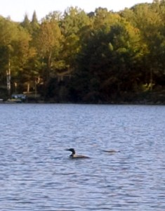A loon swimming on the lake