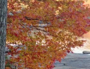 My favourite tree in the fall - Love the red and yellow!