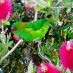 Nomadic Musk Lorikeet with Teal in Ballarat