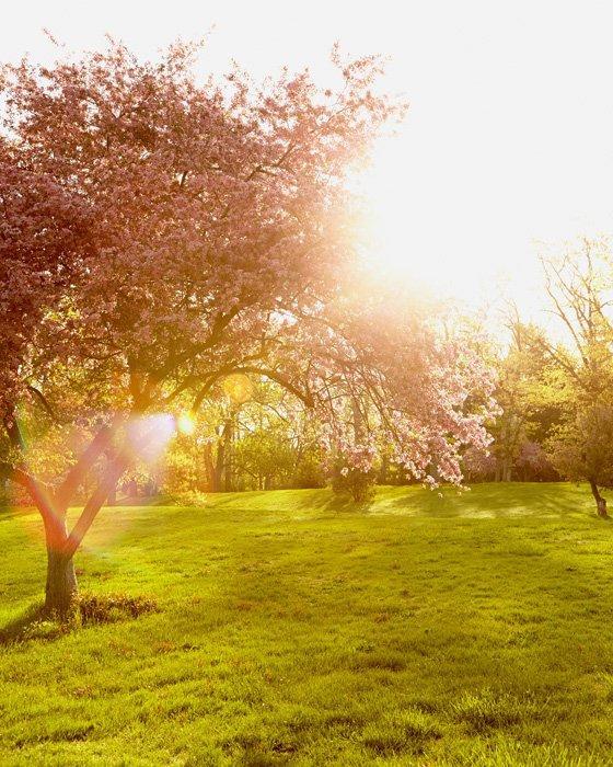 Cherry Blossom Art - Gleaming Glory