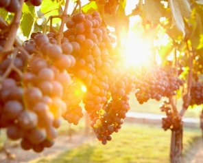 Pelee Sun - Vineyard Photography