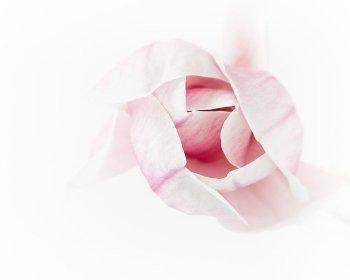 Pink Magnolia Wall Art - Magnolia #1