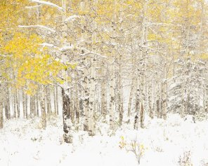 Golden Persistence - Aspen Tree Print Landscape Photograph