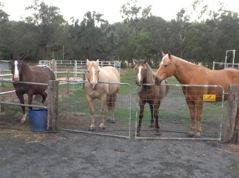 Stable mates: Paddy, Clancy, Wilbur and Lacey