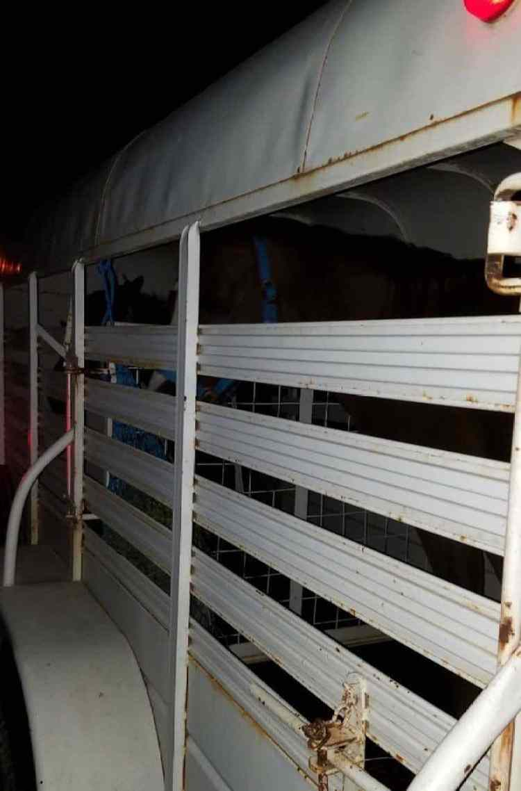rescue horses in horse trailer