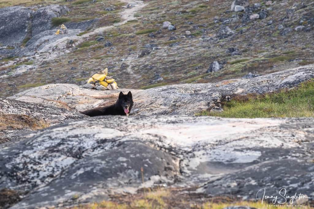 A black sled dog looks at me suspiciously on the Yellow Trail in Ilulissat, Greenland