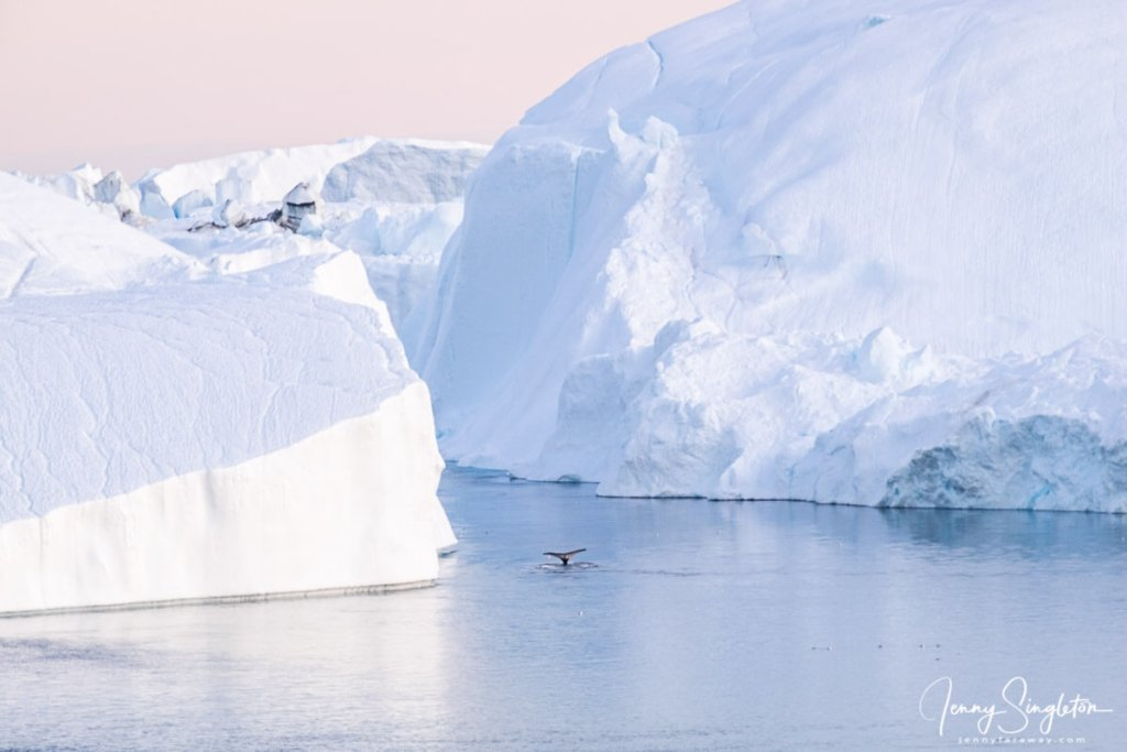 A whale's tail comes up between giant icebergs as it dives in the Ilulissat Icefjord.