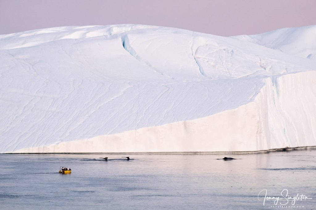 A small yellow zodiac watches whales swimming and diving from a short distance, with the giant icebergs of the Ilulissat Icefjord as a backdrop.