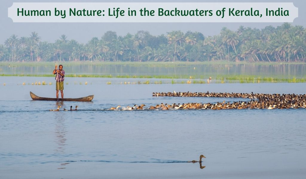 Slider graphic of a man herding ducks in Kerala, India