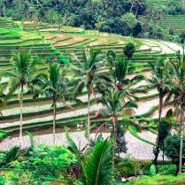 Tegalalang - Rice Terrace
