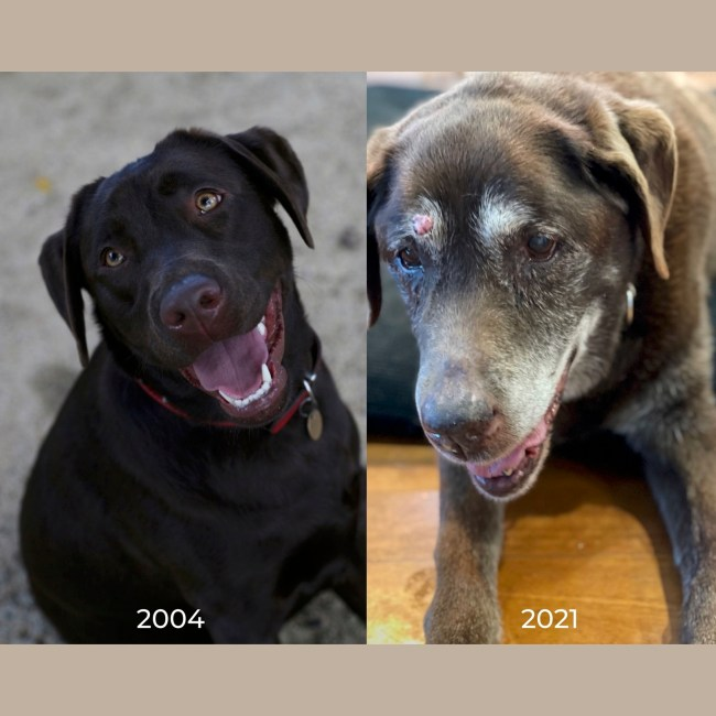 Olive, much loved family pet, brown Labrador as a puppy and at 16