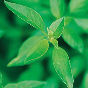 Lime Basil