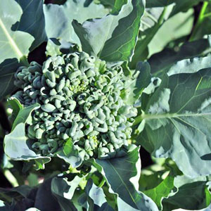 Piracicaba Broccoli