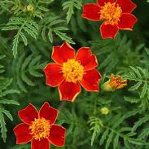 Red Gem Marigold