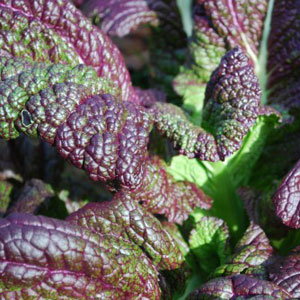 Red Giant India Mustard