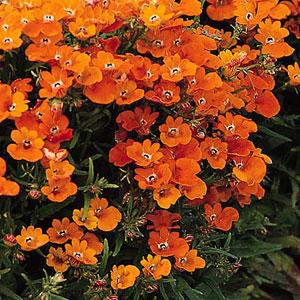 Nemesia 'Prince of Orange'