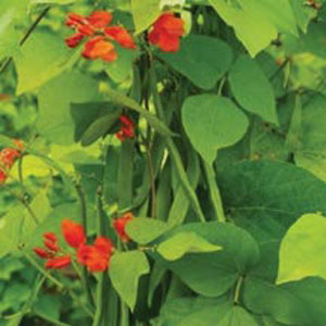 Runner Bean 'Golden Sunshine'
