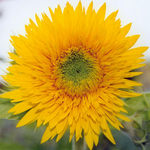 Sole D Oro Sunflower
